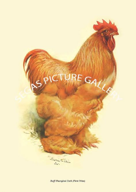 Fine art print of the Buff Shanghai Cock (First Prize) by Harrison Weir (1904)